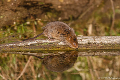 Water Vole_1 (KeBa_Fox) Tags: water vole