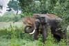 Tusker Sando (UpeKha Hewa) Tags: wildlife elephant nationalpark nature yala mammals asianelephant canon canon5dmark4 canon400mm mighty tusker