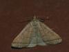Herminia tarsipennalis - The Fan-foot (Cossus) Tags: erebidae herminia herminiinae noctuidae пестово совка 2010