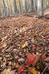 Standing Out From The Rest (peterkelly) Tags: digital canon 6d ontarionature caledon ontario canada northamerica willoughbynaturereserve fall autumn forest trees tree mapleleaf leaves