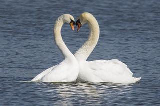 Swan Heart Marsworth Mar 2018
