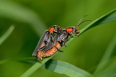 Cantharis (Cantharis) sp. ZMA01.  Cópula (Jesús Tizón Taracido) Tags: coleoptera polyphaga elateriformia elateroidea cantharidae cantharinae cantharini cantharis