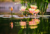 Great Expectations (Thomas Hawk) Tags: cheesmanpark colorado denver denverbotanicgardens denverbotanicalgarden waterlilies waterlillies botanicalgarden flower waterlilly waterlily fav10 fav25 fav50 fav100