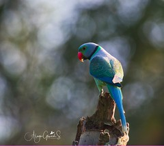 Malabar Parakeet Male (alagu_stanley) Tags: nikon nikon200500mm nikond500 nikongears wildlife birds wildbirds birdsofindia nature birdphotography natgeonationalgeographic sanctuaryasia