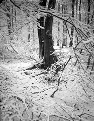 superikonta531220318027 (salparadise666) Tags: zeiss ikon super ikonta 531 645 tessar fomapan caffenol nils volkmer vintage analogue film medium format folding camera landscape nature snow trees season winter hannover rural detail region niedersachsen germany north german plains lowlands