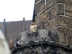 Madeleine in Her Nest (rbs10025) Tags: redtailedhawk buteojamaicensis bird nest cathedralofstjohnthedivine morningsideheights manhattan nyc