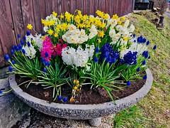 Planter with spring flowers in Kiefersfelden, Bavaria, Germany (UweBKK (α 77 on )) Tags: planter spring flowers blossoms earth flora bloom kiefersfelden bavaria bayern germany deutschland europe europa iphone