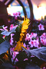 47410031 (landscape_Portrait_Bokeh) Tags: eos5 fujifilmvelvia100 tokina film hongkong hongkongflowershow2018 nightphotography flower macro bee slidefilm
