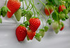 Strawberries grow a greenhouse (phuong.sg@gmail.com) Tags: agriculture asia background berry bright business closeup color colorful crop cultivation delicious dessert diet eating farm farming field food fresh freshness fruit garden green growth harvest health healthy juicy korea leaf natural nature nutrition organic plant plantation red ripe row season spring strawberry summer sweet tasty vegetarian vitamin white