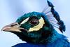 Kind of Blue (Paul A Wiles) Tags: macromondays blue peacock macro mondays pwiles1968