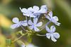 Plumbago (Letua) Tags: celeste flores flowers jazminceleste lightblue naturaleza nature plumbago