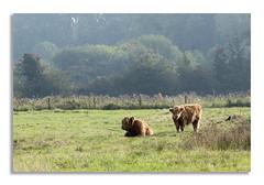 Highland girls? (johnhjic) Tags: johnhjic nikon d850 mist crow tree trees bush bushs grass cow highlandcattle highland cattle field yorkshire northyorkshire fence girls brown browns green greens