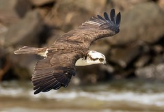 Before the Catch (cwhitted) Tags: moncure northcarolina unitedstates us chathamcounty canon eos canoneos7dmarkii sigma sigma150600mm sigma150600mmcontemporary sigma150600mmf563dgoshsmcontemporary sigma150600mmf563dgoshsmc osprey birdinflight birdwatching birdofprey raptor jordanlakedam beverettjordanlakeanddam hawriver