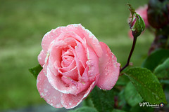 ROSA_0023 FF (Wptjunior) Tags: photograph photo fotografia foto nikon natureza nature macro flores flowers rosas