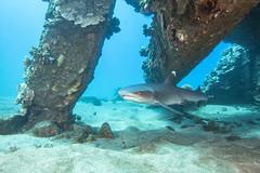 shark1Mar27-18 (divindk) Tags: hawaii hawaiianislands malaramp maui scientificname shark triaenodonobesus underwater whitetipreefshark whitetipshark whitetippedreefshark diverdoug fearsome jaws marine ocean predator reef sea teeth underwaterphotography
