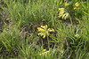 Echte Schlüsselblumen - Primula verbis (Jo&Ma) Tags: farben grün schweiz alpen closeup makro nahaufnahme outdoor gelb aufblühen bestäubung blühen blume blüte botanik pflanzen frühling garten knospe kraut magerwiese natur verblüht waldblume waldrand wiese wiesenblume