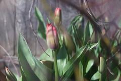 "DSC07690 (Old Lenses New Camera) Tags: sony a7r kodak folmer ""folmer schwing"" factograph 100mm f45 plants garden flowers tulips"