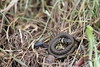 Juvenile Grass Snake. (ChristianMoss) Tags: eppingforest reptile canon grass snake natrix