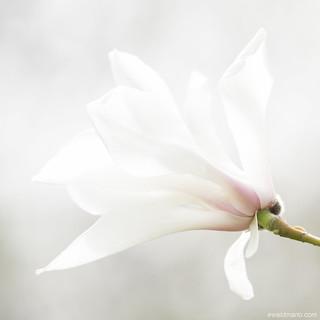 first magnolia