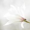 first magnolia (ewaldmario) Tags: ewaldmario magnolie flower tree blossom white sigma closeup brigjht petals springtime spring nikon d800 light magnolia shining highkey composition details fine texture