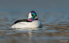Bufflehead (Male) (salmoteb@rogers.com) Tags: bird wild outdoor nature wildlife bufflehead male duck water lake ontario canada toronto
