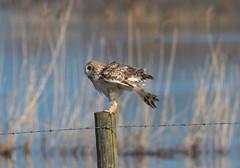 Short-Eared Owl 14-04-2018-4339 (seandarcy2) Tags: owls shorteared raptors birds of prey eldernell rspb cambs uk winter migrants fenland