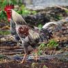 gallo (vitofonte) Tags: gallo cockerel ave bird naturaleza nature natura natureza kizimkazi zanzibar africa vitofonte