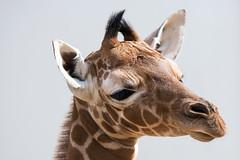 Netgiraffe_Jong_01 (Nick Dijkstra) Tags: artis giraffacamelopardalisreticulata netgiraffe reticulatedgiraffe somalischegiraffe jong