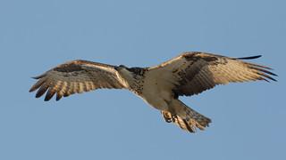 An Osprey in the Air