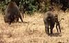 home (SusanKurilla) Tags: wildlife africa kenya tanzania wild safari adventure baboon mamma baby
