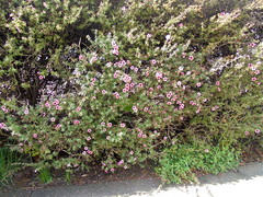 DSC02135 (classroomcamera) Tags: school campus bush bushes flower flowers green pink down up above below angle day daytime outside outdoor outdoors garden grow grows growth growing