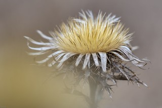 *winter thistle* - Winterdistel*