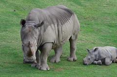 DSC_5226 (Andrew Nakamura) Tags: animal mammal rhino rhinoceros whiterhino southernwhiterhinoceros lyingdown sandiegozoosafaripark safaripark escondido