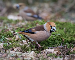 Hawfinches (m&f) (mbnewcastle) Tags: