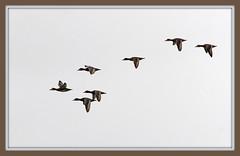 Seven Ducks in Flight, Framed (imageClear) Tags: ducks seven 7 framed wildlife aperture picmonkeycom nikon d500 80400mm
