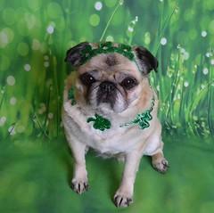 Happy St. Patrick's Day! (DaPuglet) Tags: pug pugs dog dogs pet pets animal animals stpatricksday patrick irish costume shamrock green paddy coth5 fantasticnature stpatrick cute