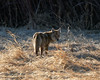 Backlit Coyote In Dry Prairie Grass (dcstep) Tags: dsc1421dxo handheld belmarlake lakewood colorado usa water lake sony allrightsreserved copyright2018davidcstephens dxophotolab nature urban urbannature