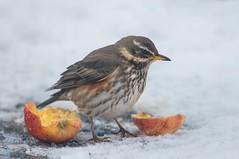 Redwing (Martyn William's Birds) Tags: redwing britishbirds nikond810 nikonvrafs300mmf28gediflens nikonafstc14eiiteleconverter