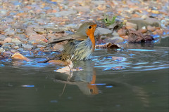 Bath time (stellagrimsdale) Tags: robin robinredbreast bird birdphotography birdinaction puddle water wildlife red redbreast wings feathers fauna 7dwf