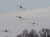 IMGPJ32918_Fk - Jackson County Indiana - Migratory Birds - Ewing Bottoms - Sandhill Cranes (David L. Black) Tags: jacksoncountyindiana birds sandhillcranes olympusomdem1mkii olympus300f4014xtc