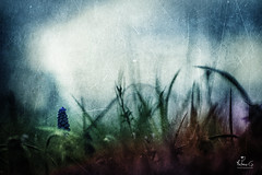 (Antoineos G.) Tags: fleur flower texture muscari nature champ sombre ombre lumière