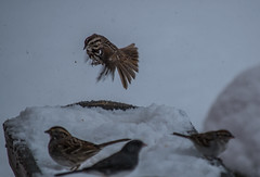 One comes other goes (Resad Adrian) Tags: birds snow flight