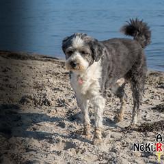 Hund in Pelzerhaken (Norbert Kiel) Tags: deutschland schleswigholstein ostsee see wasser küste hund strand sand blau braun vierbeiner dog bellen wuff säugetiere wauwau wauwi nokiart hunde säugetier freunddesmenschen wau