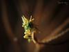 Rhino/Dragon Shrimp (Miropandalus hardingi) (Randi Ang) Tags: rhino dragon shrimp rhinoshrimp dragonshrimp miropandalushardingi tulamben serayasecret bali indonesia underwater scuba diving dive photoraphy macro randi ang canon s110
