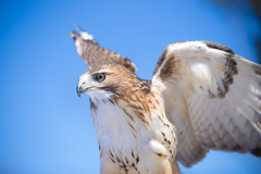 Red Tailed Hawk (ABWphoto!) Tags: usa virginia bird hawk redtailedhawk nature feathers beak talons bill color outdoors one animal
