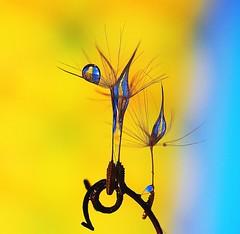 P3253007a (BUMBI61) Tags: macro gocce goccia drop drops dandelion