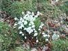 Snowdrops, Milton of Redcastle, Black Isle, March 2018 (allanmaciver) Tags: snowdrops redcastle milton black isle scotland highlands tough spring flower white delicate survive weather allanmaciver