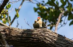 BH 3 19 18LO-0135 (Mary D'Elia) Tags: birds bonnethouse florida ftlauderdale nature wildlife woodpeckers