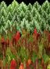 58844.01 Lamium galeobdolon, Oenothera fruticosa (horticultural art) Tags: horticulturalart lamiumgaleobdolon lamium deadnettle oenotherafruticosa oenothera eveningprimrose leaves fallleaves fallcolor