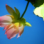 Reflected Lotus in Water thumbnail